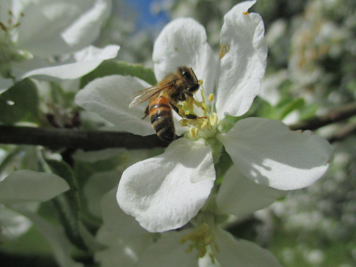 Mehiläinen vierailee omenankukassa